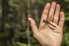 La belle libellule avec endommagé l'aile repose sur un humain le sien Photos stock