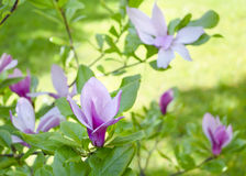 La belle magnolia rose douce lumineuse fleurit sur une branche d'un arbre de floraison Floraison de ressort Image libre de droits
