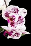 La belle maison violette fleurit des orchidées images libres de droits