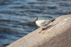 La belle mouette blanche avec le plumage brun marche le long d'un rebord de granit contre les eaux foncées de Neva River dans le  images stock