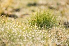 La belle nature a brouillé la baisse de rosée sur l'herbe verte dans marning Photographie stock libre de droits