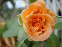la belle orange s'est levée Photographie stock