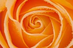 La belle orange s'est levée avec des baisses de l'eau images stock