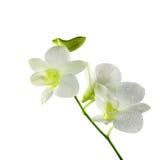 La belle orchidée blanche fleurit sur un fond blanc Photo libre de droits