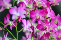 La belle orchidée pourpre de dendrobium fleurit sur le backgroun foncé Photo stock