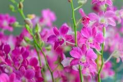 La belle orchidée pourpre de dendrobium fleurit sur le backgroun foncé Photographie stock