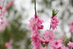 La belle pêche fleurit au printemps Photo libre de droits