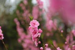 La belle pêche fleurit au printemps Image libre de droits