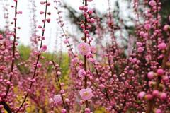La belle pêche fleurit au printemps Photos libres de droits