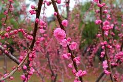 La belle pêche fleurit au printemps Image stock
