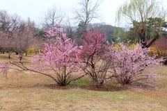 La belle pêche fleurit au printemps Photos stock