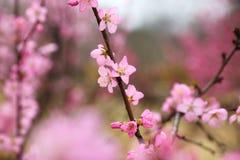 La belle pêche fleurit au printemps Images libres de droits