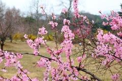 La belle pêche fleurit au printemps Photographie stock