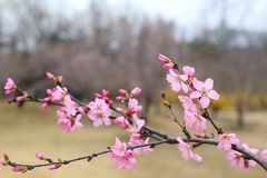 La belle pêche fleurit au printemps Photo stock