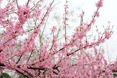 La belle pêche fleurit au printemps Images stock