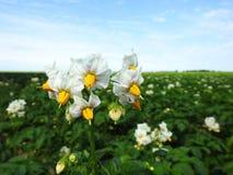 La belle pomme de terre blanche fleurit dans le domaine, Lithuanie Photographie stock