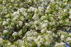 La belle pomme fleurit sur le fond brouillé avec le ciel bleu dans des couleurs chaudes naturelles Photos libres de droits