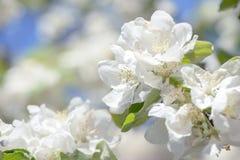 La belle pomme fleurit sur le fond brouillé avec le ciel bleu dans des couleurs chaudes naturelles Image stock