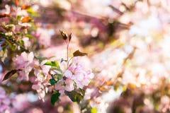 La belle pomme ou fleurs de cerisier avec le foyer mou sur un fond du soleil rayonne Image libre de droits