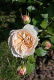 La belle rose colorée de floraison bourgeonnent à l'arrière-plan floral Photo stock