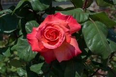 La belle rose colorée de floraison bourgeonnent à l'arrière-plan floral Photographie stock libre de droits
