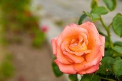 La belle rose d'orange a isolé la fleur sur le fond brouillé de nature dans la fin de jardin avec l'espace de copie du côté gauch Photos stock