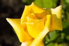 La belle rose de jaune fleurit à l'arrière-plan de jardin des feuilles et des tiges vertes, le concept des cartes postales Images libres de droits
