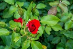 La belle rose de rouge dans le jardin est prête pour le jour du ` s de Valentine Image libre de droits