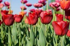 La belle source fleurit la tulipe Image libre de droits