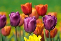 La belle source fleurit la tulipe Photo stock