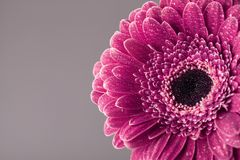 La belle tête de fleur simple de marguerite de gerbera de vintage dans l'eau chute Carte de voeux pour le jour d'anniversaire, de Photographie stock