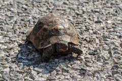 La belle tortue rampe à travers la route photo libre de droits