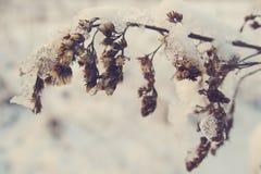 La belle usine d'hiver a enduit de la neige et de la glace blanches congelées Photo libre de droits
