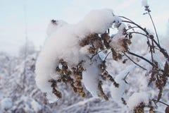 La belle usine d'hiver a enduit de la neige et de la glace blanches congelées Photos libres de droits