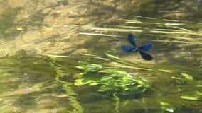 La belle Vierge de Calopteryx de Demoiselle de libellule flotte au-dessus de l'eau, mouvement lent banque de vidéos