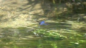La belle Vierge de /Calopteryx de Demoiselle de libellule flotte au-dessus de l'eau, mouvement lent clips vidéos