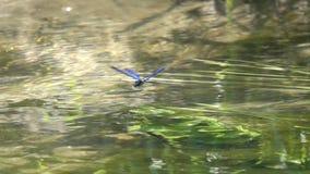 La belle Vierge de /Calopteryx de Demoiselle de libellule flotte au-dessus de l'eau, mouvement lent banque de vidéos
