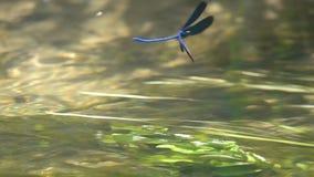 La belle Vierge de /Calopteryx de Demoiselle de libellule vole vers l'arrière, mouvement lent clips vidéos