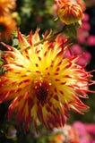 La belleza de flores - amarillee con la dalia roja. Fotografía de archivo libre de regalías