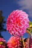 La belleza de flores - dalia púrpura. Fotografía de archivo