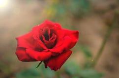 La belleza de las flores en el jardín Imágenes de archivo libres de regalías