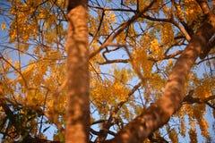 La belleza de las ramas y de las flores del acacia imperial enmarcado por el cielo azul fotografía de archivo