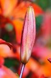 la belleza de los jardines - lirio. brote del liliu rojo Imagen de archivo libre de regalías