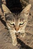 La belleza de un felino Fotos de archivo