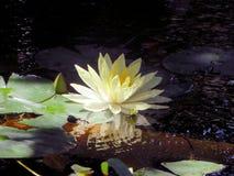 La belleza de una flor de loto admitida la tarde usando luz continua imágenes de archivo libres de regalías