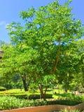 La belleza del árbol de los parques imagen de archivo libre de regalías