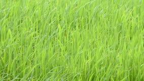 La belleza del arroz verde que oscilación en el viento almacen de metraje de vídeo