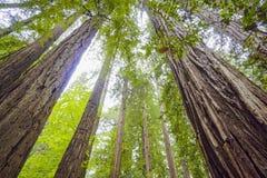 La belleza del bosque de la secoya - los árboles más altos del mundo Imagenes de archivo