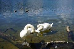 La belleza del canto del cisne por el lago fotos de archivo
