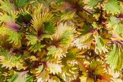 La belleza del coleo pintó el fondo colorido de la hoja de la ortiga Foto de archivo libre de regalías